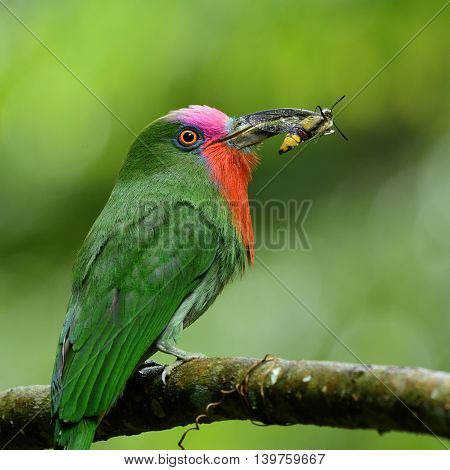 Red-beared Bee-eater, The Beautiful Green Bird With Red Feathers On Its Neck Carrying Insect To Feed