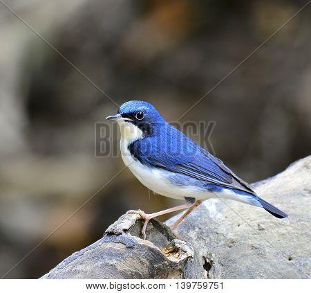 Siberian Blue Robin ( Luscinia Cyane) The Beautiful Blue Bird Standing On The Log With Nice Stances,