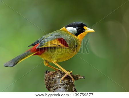 Silver-eared Mesia (leiothrix Argentauris) The Beautiful Yellow Bird And Silver On Its Ears Perching