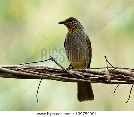 Stripe-throated Bulbul (pycnonotus Finlaysoni) The Beautiful Yellow And Brown Bird Perching On The D
