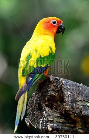 Sun Parakeet Or Sun Conure (aratinga Solstitialis) The Lovely Yellow With Green And Blue Parrot Bird
