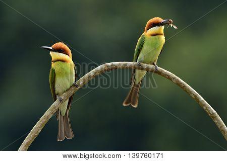 Sweet Pair Of Chestnut-headed Bee-eater (merops Leschenaulti) The Beautiful Orange Head, Green Body