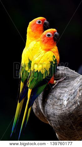 Sweet Pair Of Sun Parakeet Or Sun Conure (aratinga Solstitialis) The Lovely Yellow With Green And Bl