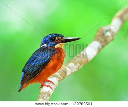 The Beautiful Male Of Blue-eared Kingfisher (alcedo Meninting) A Little Blue Bird Perching On The Br