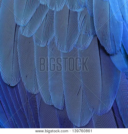 The Beautiful Texture Of Blue-and-yellow Macaw Parrot Bird Feathers (ara Ararauna) In Close Up