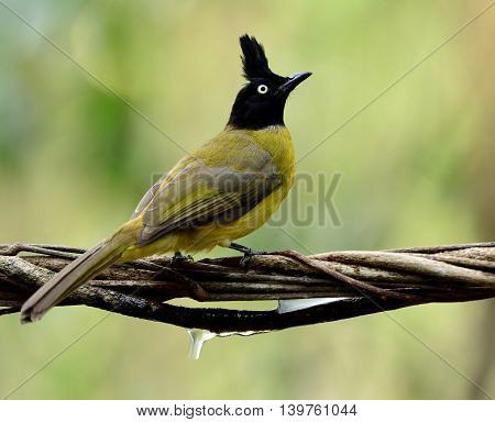 The black-crested bulbul (Pycnonotus flaviventris) the beautiful yellow bird with black head and spike hair perching on the dried rope with nice blur background
