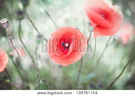 Delicate poppy flowers in the field in the morning