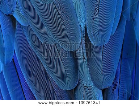 The Exotic Blue Background, The Texture Of Blue-and-yellow Macaw Feathers (ara Ararauna) In Close Up