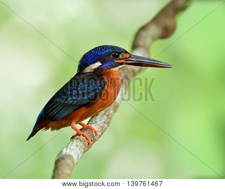 The Female Of Blue-eared Kingfisher (alcedo Meninting) The Cute Beautiful Blue Bird Standing On The