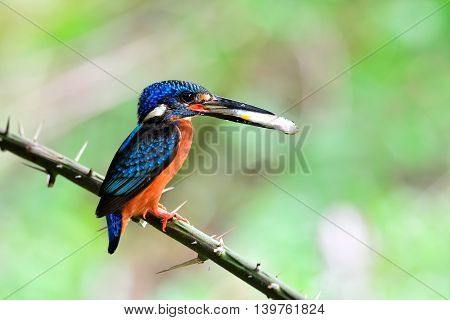 The Male Of Blue-eared Kingfisher (alcedo Meninting) Picking Fish In His Bills While Waiting To Feed