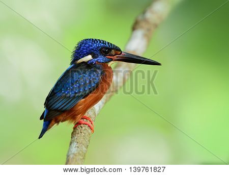 The Male Of Blue-eared Kingfisher (alcedo Meninting) The Tiny Beautiful Blue Bird Perching On The Br