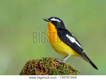 The Male Of Yellow-rumped Flycatcher (ficedula Zanthopygia) The Most Beautiful Yellow Bird Perching