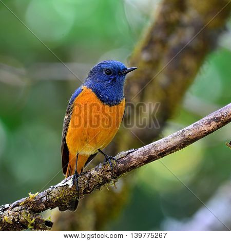 Blue-fronted Redstart (phoenicurus Frontalis) The Colorful Blue Bird With Orange Belly Perching On D