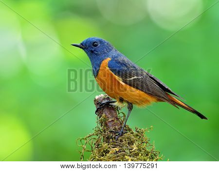 Blue-fronted Redstart (phoenicurus Frontalis) The Colorful Blue Bird With Orange Belly Perching On T