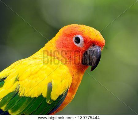 Close Up Of Sun Parakeet Or Sun Conure (aratinga Solstitialis) The Lovely Yellow Parrot Witn Nice Gr