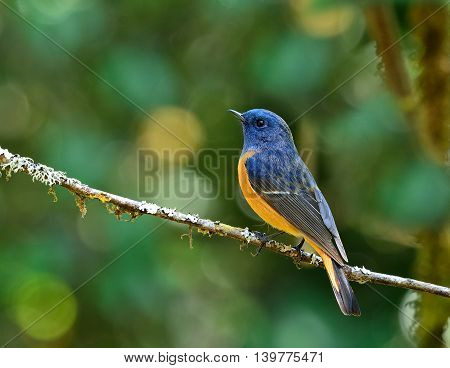 Colorful Blue Bird With Orange Belly, The Blue-fronted Redstart (phoenicurus Frontalis) Lonely Perch