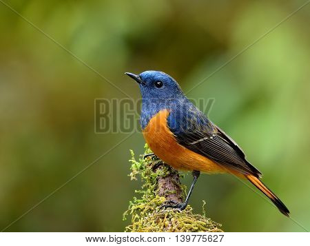 Exotic Blue Bird, The Blue-fronted Redstart (phoenicurus Frontalis) Perching On Top Of The Wooden St