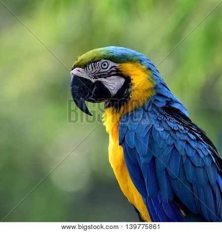 Face of Blue-and-yellow macaws (Ara ararauna) the beautiful blue parrot bird sitting on blur green background