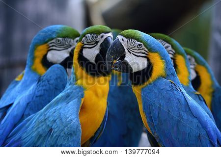 Flock Of Blue-and-yellow Macaws (ara Ararauna) The Beautiful Blue Parrot Birds Sitting Together