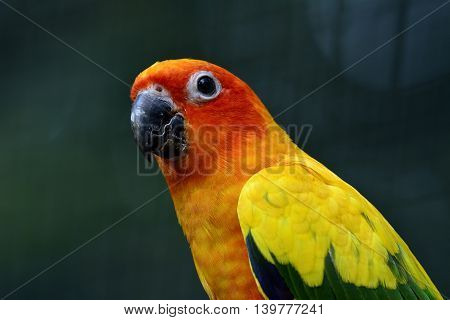 Head Shot Of Sun Conure Or Sun Parakeet (aratinga Solstitialis) The Lovely Yellow With Green And Blu
