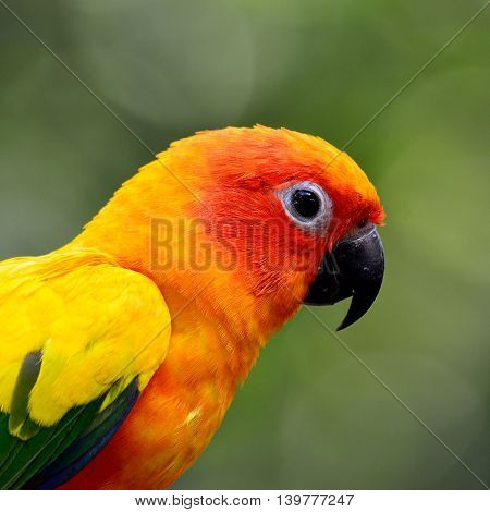 Head Shot Of Sun Parakeet Or Sun Conure (aratinga Solstitialis) The Lovely Yellow With Green And Blu