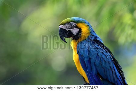 Lonely Blue-and-yellow Macaws (ara Ararauna) The Beautiful Blue Parrot Bird Sitting On Blur Green Ba