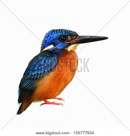 Male Of Blue-eared Kingfisher (alcedo Meninting) A Little Beautiful Blue Bird Isolated On White Back