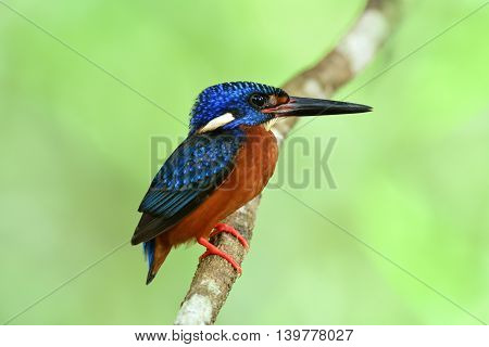 Male Of Blue-eared Kingfisher (alcedo Meninting) Perching On The Branch In Front Of His Nest Hole, T