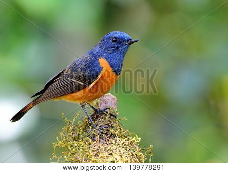 Male Of Blue-fronted Redstart (phoenicurus Frontalis) The Colorful Blue Bird With Orange Belly Stand