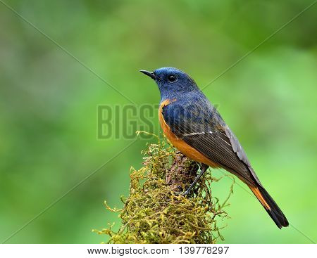 Male Of Blue-fronted Redstart (phoenicurus Frontalis) The Colorful Blue Bird With Ornage Belly Perch