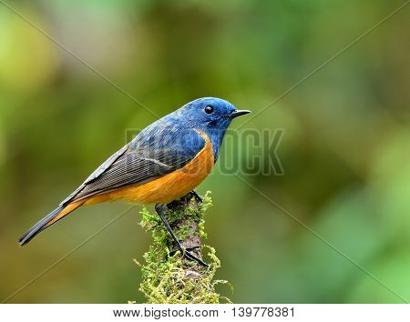 Male Of Blue-fronted Redstart (phoenicurus Frontalis) The Magnificent Bird Perching On Top Of The Mo