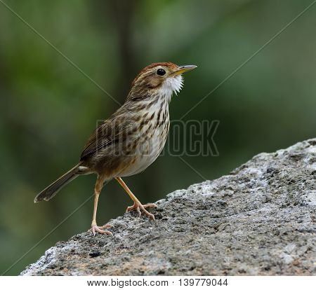 Tiny Puff-throated Babbler (pellorneum Ruficeps) The Lovely Brown Birds Standing On The Rock