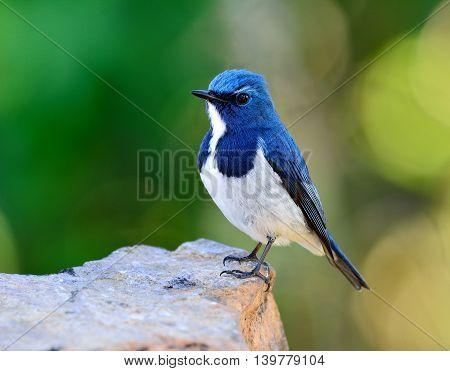 Ultramarine Flycatcher Or White-browed Blue Flycatcher (ficedula Superciliaris) The Beautiful Blue B