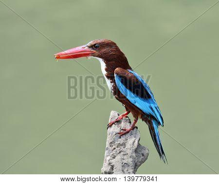 White-throated Kingfisher (halcyon Smyrnensis) The Puffy Brown And Blue Wings Bird Perching On The B