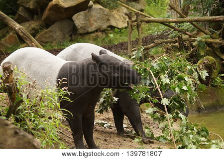 Malayan tapir (Tapirus indicus) eats leaves from the branches