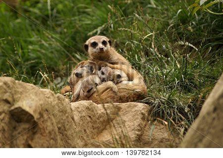Meerkat - Mother with her babies (Suricata suricatta)