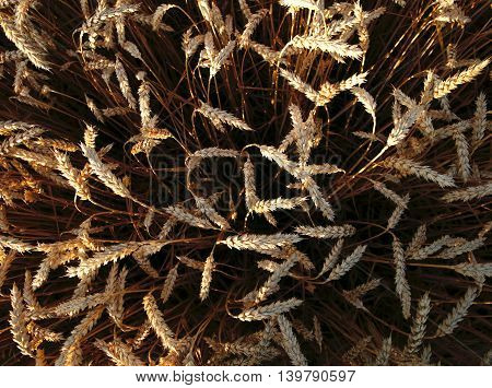 golden ripe ears of wheat ripened for harvest photo for micro-stock