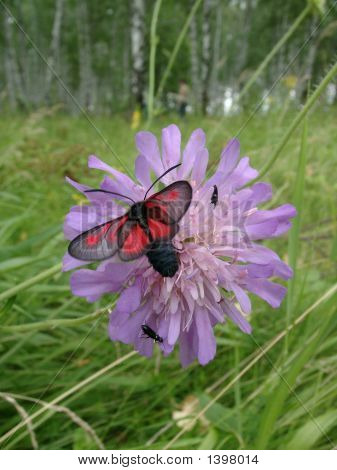 Red-Black Butterfly