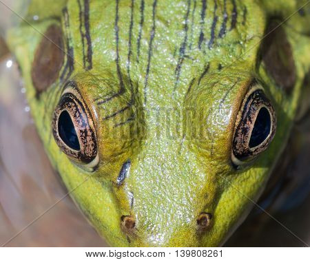 Macro closeup Of A Bullfrog in a swamp.