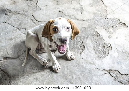 White with auburn four-month puppy pointer sits on a concrete floor and smiling