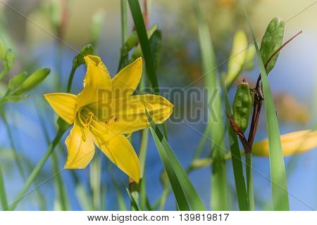 Blossom Of Lemon Daylily With Blue Water Background