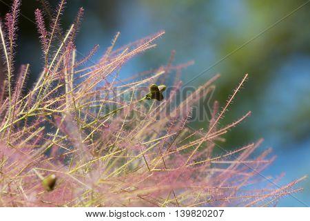 Closeup Of A Cotinus Coggygria Blossom