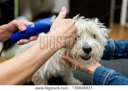Dog West Highland White Terrier grooming. Dog Grooming. Master shear white terrier dog.