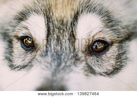 Close Up Of Eyes Of Husky Dog Puppy Whelp