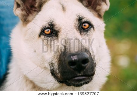 East European Shepherd, VEO, Byelorussian Shepherd - is breed of dog that was developed to create a larger cold-resistant breed for military use, police work and border guard duties in Soviet Union
