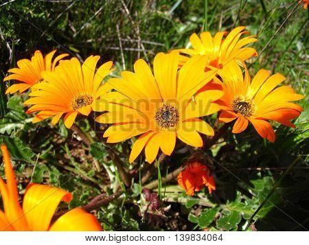 Wild Flowers, Orange And Yellow Gazanias