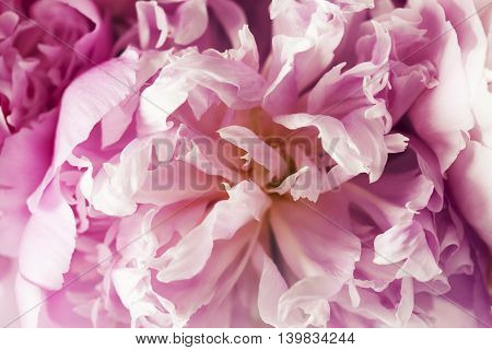 Beautiful pink peonies in white vase, close up