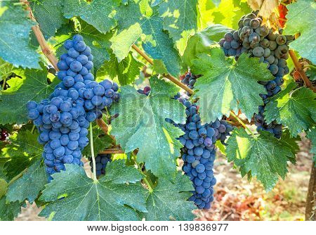 Some bunch of dark blue grapes on vineyard background. Ripe juicy vine closeup.