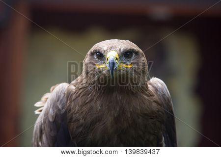 Steppe Eagle Aquila nipalensis detail of eagles head eagle head JPG background.