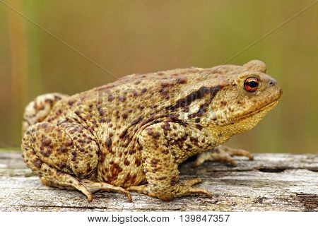 brown common toad on wooden stump ( Bufo bufo )